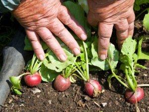 Las manos de la literalidad tomando el rábano por las hojas.