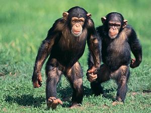 chimpances-violencia